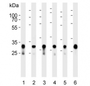Western blot testing of human 1) A431, 2) HeLa, 3) HepG2, 4) MCF7, 5) U-251 MG and 6) mouse brain lysate with Cytochrome C1 antibody. Predicted molecular weight ~35 kDa.
