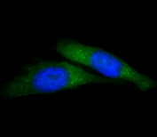 Immunofluorescent staining of fixed and permeabilized human HeLa cells with USP15 antibody (green) and DAPI nuclear stain (blue).