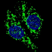 Immunofluorescent staining of fixed and permeabilized Chloroquine-treated human U-251 cells with AIF antibody (green) and DAPI (blue).