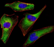 Immunofluorescent staining of fixed and permeabilized human HeLa cells with ATG4A antibody (green), DAPI nuclear stain (blue) and anti-Actin (red).
