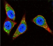 Immunofluorescent staining of human HeLa cells with Alpha Enolase antibody (green), DAPI nuclear stain (blue) and anti-Actin (red).