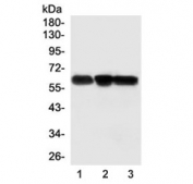 Western blot testing of 1) rat brain, 2) mouse brain and 3) human ThP-1 lysate with SSH3BP1 antibody. Predicted molecular weight ~55 kDa.