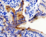IHC-P: HSP60 antibody testing of rat intestine tissue