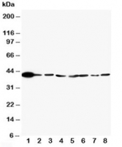 Western blot testing of ERK2 antibody and Lane 1:  rat brain;  2: rat lung;  3: rat placenta;  4: HT1080;  5: HeLa;  6: MM231;  7: Raji;  8: COLO320 cell lysate. Predicted/observed molecular weight: ~41kDa.