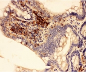 IHC-P: Actin antibody testing of rat intestine