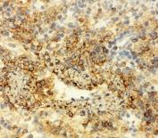 IHC testing of frozen rat spleen tissue with Annexin VI antibody.