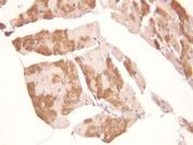 IHC-P: ADAMTS2 antibody testing of rat heart tissue