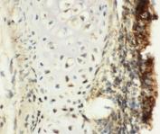 IHC-F testing of rat trachea tissue