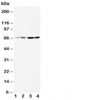 Western blot testing of DRD1 antibody and Lane 1:  rat testis;  2: rat brain;  3: U87;  4: HeLa cell lysate.  The larger than expected size may be due to glycosylation, phosphorylation or DRD1 heterodimerizing with another dopamine receptor (Ref 1).