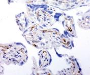 IHC-F testing of human placenta tissue