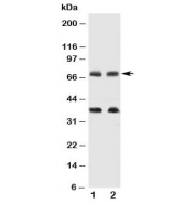 Western blot testing of GAT-1 antibody and Lane 1:  rat brain;  2: mouse brain tissue lysate.  Predicted molecular weight: 67~80 kDa depending on level of glycosylation. The ~35 kDa band is uncharacterized.