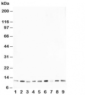 Western blot testing of HSP10 antibody and rat samples 1: thymus;  2: brain;  3: ovary;  4: testis; and human samples  5: A431;  6: A549;  7: MCF-7;  8: MM231;  9: HeLa cell lysate. Expected molecular weight: ~10kDa.