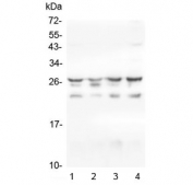 Western blot testing of 1) human HeLa, 2) monkey COS-7, 3) human Caco-2 and 4) human Jurkat cell lysate with HSPB1 antibody. Expected molecular weight: 23~27 kDa.