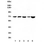 Western blot testing of HSPA8 antibody and rat samples 1: brain;  2: testis;  3: ovary;  4: spleen;  and human samples 5: A549;  6: MCF-7;  7: HeLa;  8: Jurkat.  Predicted/observed molecular weight: ~71/70-73kDa.