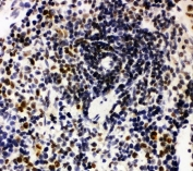 IHC-P: Nucleophosmin antibody testing of rat spleen tissue. HIER: steamed with pH6 citrate buffer.