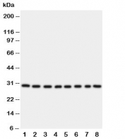 Western blot testing of TFAM;  Lane 1: HeLa;  2: Jurkat;  3: 293T;  4: A431;  5: Raji;  6: CEM;  7: HL-60;  8: HUT cell lysate.  Expected molecular weight: 24~29kDa.