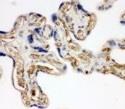 IHC-P: Adiponectin antibody testing of human placenta tissue