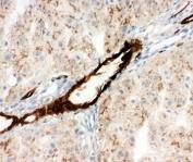 IHC-F testing of Adiponectin antibody and rat liver tissue