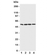 Western blot testing of BAG5 antibody;  Lane 1: rat thymus;  2: (r) spleen;  3: (r) testis;  4: human PANC cell lysate.  Predicted molecular weight: ~56/51kDa (isoforms a/b).