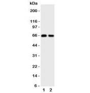 Western blot testing of Cdc20 antibody and Lane 1:  rat thymus;  2: rat spleen tissue lysate.  Predicted molecular weight ~55 kDa, observed here at ~66 kDa.