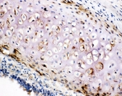 IHC-F testing of COL2A1 antibody and rat trachea tissue