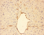 IHC-P: Adiponectin antibody testing of mouse liver tissue. HIER: steamed with pH6 citrate buffer.