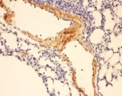 IHC-P: Adiponectin antibody testing of mouse lung tissue. HIER: steamed with pH6 citrate buffer.