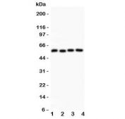 Western blot testing of Cyclin B1 antibody and Lane 1:  HeLa;  2: 293T;  3: MCF-7;  4: COLO320 lysate. Predicted molecular weight: 48-60 kDa.