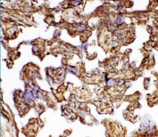 IHC staining of frozen human placental tissue with HSP27 antibody.