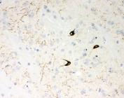 IHC-P: NPY antibody testing of mouse brain tissue