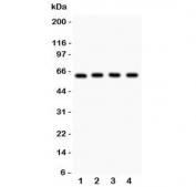 Western blot testing of RELA antibody and Lane 1: rat PC12;  2: (r) NRK;  3: mouse HEPA;  4: (m) NIH3T3 lysate. Expected molecular weight ~65 kDa.