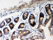 IHC-P testing of mouse intestine tissue. HIER: steamed with pH6 citrate buffer.