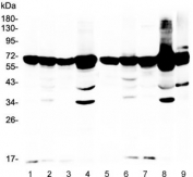 Western blot testing of rat 1) spleen, 2) ovary, 3) lung, 4) liver and mouse 5) spleen, 6) testis, 7) lung, 8) liver and 9) ovary lysate with AIF antibody. Expected molecular weight ~67 kDa