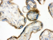 IHC testing of frozen human placenta with Annexin A3 antibody.
