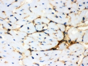 IHC testing of frozen mouse heart with Annexin A3 antibody.