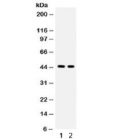 Western blot testing of 1) rat brain and 2) mouse brain with AQP4 antibody. Observed molecular weight: 35~45 kDa depending on glycosylation level.