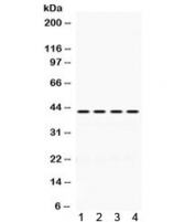 Western blot testing of 1) rat spleen, 2) mouse spleen, 3) human HeLa and 4) human MCF7 lysate with Actin antibody. Expected molecular weight 42-45 kDa.