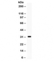 Western blot testing of human MCF7 cell lysate with SNAI3 antibody. Expected/observed molecular weight ~32 kDa.