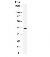 Western blot testing of human HeLa cell lysate with B3GNT8 antibody. Expected/observed molecular weight ~43 kDa.