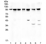 Western blot testing of 1) rat brain, 2) rat testis, 3) rat liver, 4) mouse liver, 5) mouse spleen, 6) mouse NIH3T3 and 7) human HeLa lysate wtih ALIX antibody. Expected/observed molecular weight ~96 kDa.