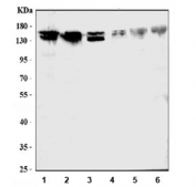 Flow cytometry testing of human A549 cells with ATX2 antibody at 1ug/10^6 cells (blocked with goat sera); Red=cells alone, Green=isotype control, Blue= ATX2 antibody.