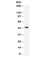 Western blot testing of mouse lung lysate with CD33 antibody. Predicted molecular weight is 40-67 kDa depending on glycosylation level.