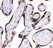IHC staining of FFPE human placenta with AEBP2 antibody. HIER: boil tissue sections in pH6, 10mM citrate buffer, for 20 min and allow to cool before testing.