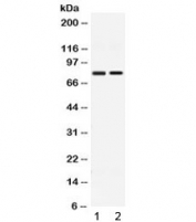 Western blot testing of 1) rat thymus and 2) human HeLa lysate with GP78 antibody at 0.5ug/ml. Predicted molecular weight ~73 kDa, commonly observed at ~78 kDa.