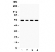 Western blot testing of 1) rat thymus, 2) mouse thymus, 3) human HeLa and 4) human K562 lysate with LBP antibody at 0.5ug/ml. Predicted molecular weight ~53 kDa (unmodified), 60-65 kDa (glycosylated).