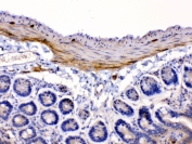 IHC testing of FFPE mouse intestine tissue with CHRNA5 antibody at 1ug/ml. Required HIER: steam section in pH6 citrate buffer for 20 min and allow to cool prior to testing.