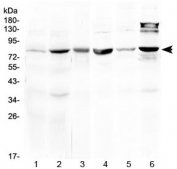 Western blot testing of 1) rat liver, 2) mouse liver, 3) mouse heart, 4) mouse testis, 5) human MCF7 and 6) human HeLa lysate at 0.5ug/ml. Predicted molecular weight ~80 kDa.