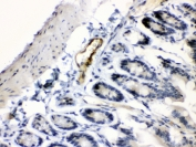 IHC testing of FFPE mouse intestine tissue with ANGPTL2 antibody at 1ug/ml. Required HIER: steam section in pH6 citrate buffer for 20 min and allow to cool prior to testing.