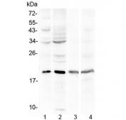 Western blot testing of human 1) HepG2, 2) HeLa, 3) HL-60 and 4) Jurkat cell lysate with Myoglobin antibody at 0.5ug/ml. Predicted molecular weight ~17 kDa.