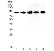 Western blot testing of 1) human HeLa, 2) human 22RV1, 3) rat spleen, 4) rat thymus and 5) mouse spleen lysate with CD44 antibody at 0.5ug/ml. Predicted molecular weight ~81 kDa.